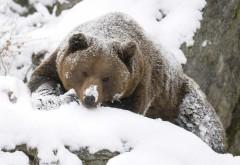 Бурый медведь зимой в лесу обои hd бесплатно
