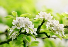 Для рабочего стола обои ветки яблони цветущее весенне�…