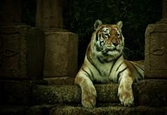 Тигр отдыхает фото высокого качества для рабочего стола скачать