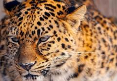 Широкоформатное фото леопарда который сидит в засаде