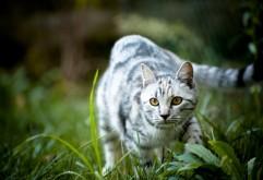 Кот на охоте, котик на лужайке, обои hd, бесплатно