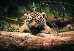 Фото маленького тигреныша прикольные высокого качества для рабочего стола скачать