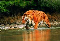 Фото тигра в реке высокого качества для рабочего стола скачать