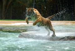 Фото тигра прыгающего в воду высокого качества для рабочего стола скачать