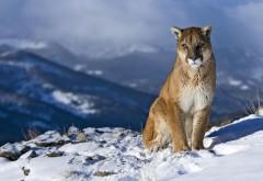 HD обои, пума, кагуар, горный лев, снег, горы, зима, хищник…