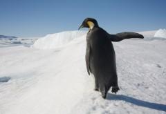 HD обои пингвина на рабочий стол