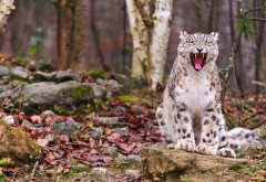 Заставки, осень, лес, рысь, барс, ирбис, снежный леопард бесплатно на рабочий стол
