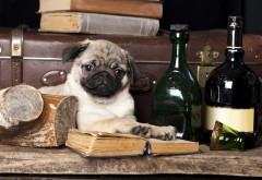 Собака, мопс, книги, натюрморт, вино, обои hd, бесплатно, �…