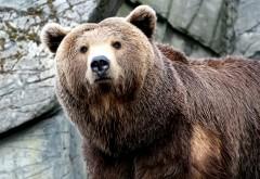 Заставки бурого медведя в природе hd бесплатно