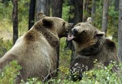 Схватка двух больших медведей в лесу обои hd бесплатно