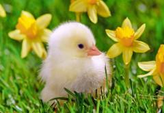 Милый цыпленок на травке обои hd бесплатно