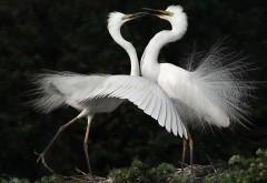 Пара белых лебедей, романтика, картинки, любовь, фото в�…