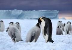 Пингвин, снег, зима, млекопитающее, пингвины, картинки