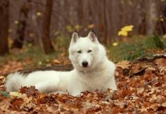 Обои белой собаки хаски на рабочий стол