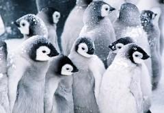 Милые пингвинята на снегу в природе обои hd бесплатно