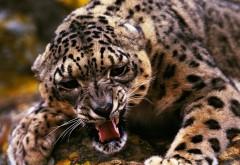 Фото леопарда который защищается