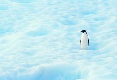 Пингвин одиночка на снежных просторах обои hd бесплатн�…