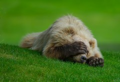 Медвежонок закрыл лапами глаза обои hd бесплатно