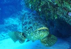 Голиаф рыба под водой обои hd бесплатно