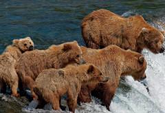 Бурые медведи на горном озере охотятся на рыбу скачать обои