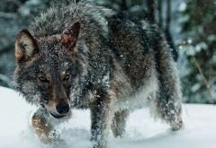 Волк, лес, снег, хищник, голодный, обои hd, бесплатно