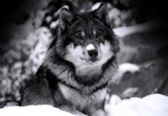 Волк, лес, снег, глаза, чернобелые, обои hd, бесплатно