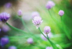Цветы клевера, зеленые, обои hd, бесплатно