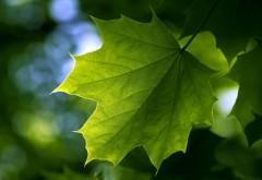 Макро, зеленые листья, кленовый лист, обои hd, бесплатно