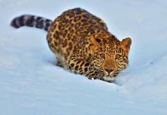 Прикольная дикая кошка с выпученными глазами на снегу …