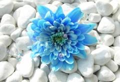 Голубой цветок на фоне белых камней обои на рабочий стол