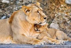 Лев, львица, пара, ребенок, львенок, обои, скачать, заста…