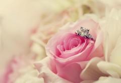 Свадебная роза, цветок, праздник, картинка