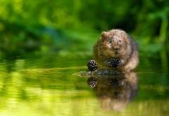 Животное, ежевика, отражение, зеленый, вода, ягода, Водя…