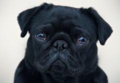 Английский бульдог, собака, черный щенок, фоны, заставки
