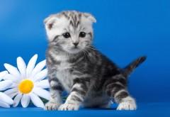 Котенок полосатый, цветок, ромашка, милый, пушистый, мо�…