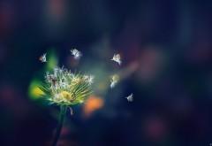 Одуванчик, цветок, макро, абстрактные, картинки, застав…