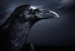 Картинка прекрасного черного ворона