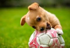 Милый щенок играет в футбол мячиком и грызет его широк�…