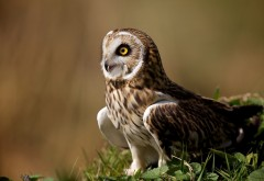 Качественные фото восхитительной совы