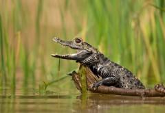 Широкоформатные фото маленького крокодильчика в воде