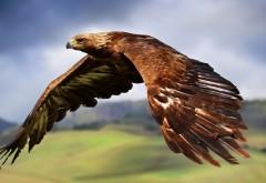 Фото в высоком качестве парящего орла
