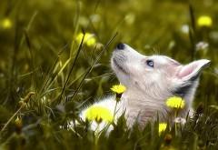 1920x1080, собака хаски, трава, цветок, настроения, изображе…