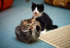 Милейшие котятки фон для стола