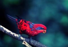 Красивое фото волнистого попугая