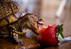 Макро фото маленькой черепашки жадно кушающей клубнич…