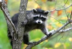 Милый енот на ветке дерева