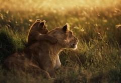 Тигрица со своим львёнком HD обои