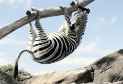 Зебра на дереве, веселые животные, смешные обои, прикол…