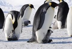 Императорские пингвины, Антарктида, Птицы, Детеныши, С�…