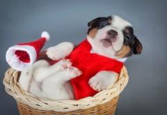 Собаки, Рождество, Новый год, щенок, животные, фото высо…